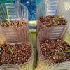 6/22 稲のペットボトル栽培を始めましたよ