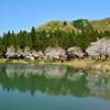 大崎ダムの桜 Ⅱ