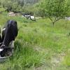 牛の再しつけとつばめ6個目産卵!