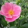 バラの季節がやって来ました ❣❣