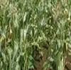 トウモロコシ畑の中の天国