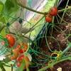プチトマト鈴生り豊作❤️