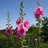 「あおい(葵)」が正式な名前となっている植物はありません.  ただし,現在「あおい」といえば,観賞用のタチアオイをさすとのこと(日本国語大辞典).英語でhollyhock.「人類が利用したもっとも古い花の一つ」.中国では唐代ボタンが台頭するまで人気第一で,日本でも江戸期沢山の園芸種が開発されたそうです.現在でも欧米では,色とりどりの華麗な品種が栽培されています. アオイ科の植物2