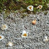 智積院の夏椿(沙羅双樹)、見事や開花状況。