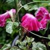 「佐久の季節便り」、「大輪アサガオ(朝顔)」の花、大雨に打たれる。