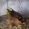 アトラスオオカブトがお亡くなりになりました・・・。標本化しようと思う!
