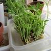 水耕栽培らしきもの、手始めは、豆苗。