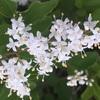 プリベットの花