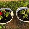 地植えしたペチュニアが大きく育たない… 一部を鉢に植え替えて数を増やそうと思います。