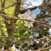 十月に咲く桜