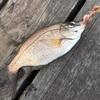 江戸三大小物釣り…最後の一種類!?その後はボージョレー飲み比べ【久々の東扇島】