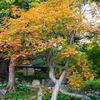 清澄庭園の紅葉