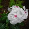 アサガオも咲かず夏は終わったのか、寒い日が続く