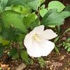 白い宗旦槿(ソウタンムクゲ)