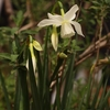 タリアの開花、まぁこさんは庭で芝はりを