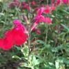 赤い花、白い花  (╹◡╹)♡
