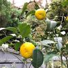 ゆずの季節はたっぷりのビタミンをとって、柚子湯でうっとりアロマ芳香浴