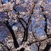 桜開花宣言!春はもうすぐそこまで来ている…!