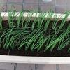 プランターに葉ネギ苗を定植