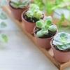 多肉植物の「綴化」とは何?綴化(てっか)の意味を分かりやすく解説!
