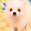 ポメラニアンを飼いました!初めての小型犬ペットのお迎えに必要なグッズ購入記