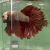 稚魚ベタもどんどん成長して、お父さんともフレアリングを!!!