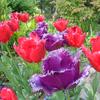【お花見23】四季の香ローズガーデンのチューリップ【サイクリングコース2】荒川サイクリング沿い