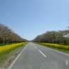 桜の名所巡り 大潟村 菜の花ロード&桜並木