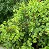 フランソワジュランビルの赤い茎とツバキ 曙の若葉