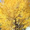 おおきな「空振り」…上野公園の晩秋 /     国立西洋美術館「ハプスブルク展」