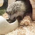 【超まとめ】ハリネズミの餌やおやつはどうしたらいい?はりねずみのお世話の方法を紹介!
