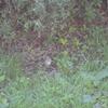 ジィちゃんと探鳥、狭山湖のノゴマ、福生南公園・関戸橋・府中浅間山公園の野鳥、2018-10-21