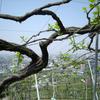 今年も熱い生命力をみせる古木の堅下甲州〜カタシモワイナリー訪問