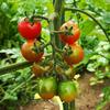 ようやく赤くなってきたミニトマト