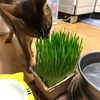 【ズボラ主婦】胡蝶蘭がやってきた【猫草を枯らす人】
