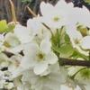 梨の花が咲いてるなっしー♡