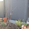 ジューンベリー植樹