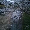 桜の季節ですもの