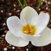 クロッカス君ついに開花!