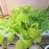 野菜水耕栽培45日目。レタス大繁盛