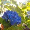 今年は色揚げに成功。 赤色から青い紫陽花に戻りました。