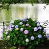【穴場の東京あじさい名所】上野公園のお花見は桜と蓮だけじゃなかった!