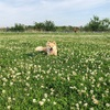 シロツメクサとチクチク草