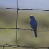 ムジルリツグミ(Mountain Bluebird)