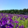 【観光部】江別市の「ノハナショウブの里」は今年も綺麗に咲きました!