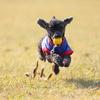 動体撮影練習モデル犬