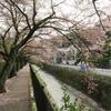 白川沿いの桜