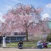 まだまだ間に合う京都で花見 平安神宮 神苑 まさかの夏日!!