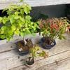 もう紅葉してきた?まだ秋じゃないのに葉色が黄色や赤くなってたら肥料を。