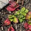 1月の家庭菜園【いちごとネギとほうれん草とニラ】